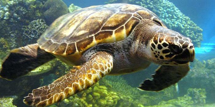لاکپشت ماندنی